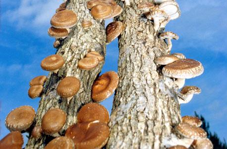 """פול סטמץ: """"יש לרשת הקורים של הפטריות יכולות חישה פרימיטיביות וכישרון למידה בלתי רגיל. כל קור יכול להעביר אינפורמציה לכל הרשת, וכמו באינטרנט, זה לא עובר דרך שרת מרכזי אלא בנתיבי תקשורת מתחלפים. זה מדהים שהמודל של האינטרנט הסתתר באדמה מהימים הראשונים של כדור הארץ"""""""