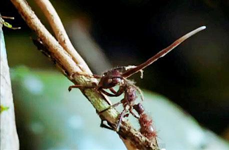 נבג הפטרייה מתיישב בראשה של הנמלה ושולח כימיקלים למוחה הזעיר. לאחר מכן הנמלה מתחילה לטפס על העץ הראשון הנקרה בדרכה, נועצת בקליפתו את צבתותיה, ומנסה להימלט עד שהיא נופחת את נשמתה. כעבור שבועיים פורצת מראשה פטריית הטומנטלה