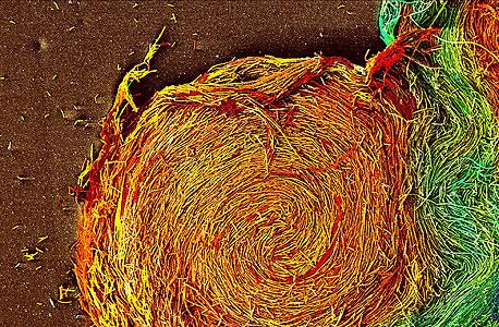 תקריב של תרבית חיידקים מהמעבדה של אשל בן יעקב. מכונות מידע