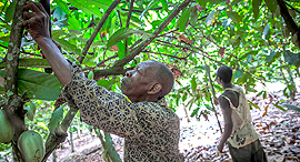 פועל קקאו בחוף השנהב, צילום: בלומברג