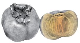 פנאי ה אפרסמון הפרי הנחשק אוכל בזמן, איור: איגור טפיקין
