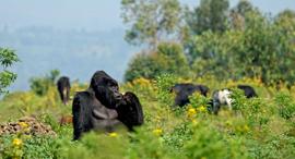 פוטו טיולים עם חיות גורילות קונגו, צילום: שאטרסטוק