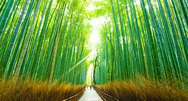 פוטו המקומות הירוקים בעולם ארישיאמה במבוק יפן, צילום: שאטרסטוק
