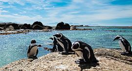 פוטו חיות על החוף פינגווינים חוף בולדוור דרום אפריקה, צילום: שאטרסטוק