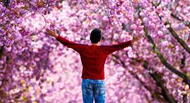 פוטו קורונה אביב פריחת דובדבן בון גרמניה, צילום: איי אף פי