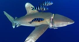 פוטו תמונות מתחרות צילומים מתחת למים כריש פצוע , צילום: Joe Daniels