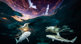 פוטו תחרות צילומים מתחת למים 2021 כרישים , צילום: Renee Capozzola / UPY2021