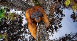 פוטו תחרות צילומי טבע 2020 אורנג אוטנג, צילום: Thomas Vijayan / World Nature Photography Awards