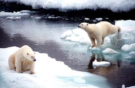 """דוב בקוטב הצפוני. """"מספרם עולה במקום לרדת"""", טוען דייסון, """"בגדול, הם אוהבים את ההתחממות"""", צילום: אי פי אי"""