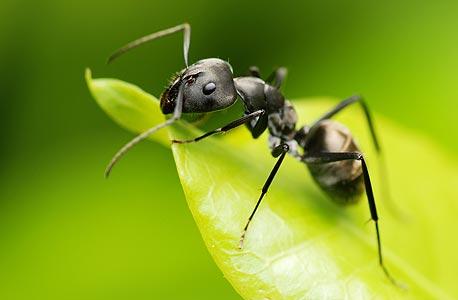 הנמלה הבודדת אינה יעילה. הכוח הוא במושבה