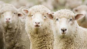 כבשים כבש מוסף, צילום: shutterstock