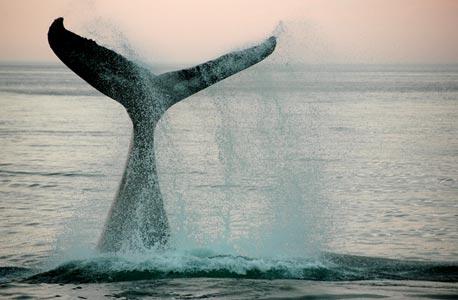 הלווייתנים מצליפים בזנבם מעלה ומטה כדי להתקדם
