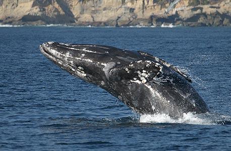 לוויתן. פעילי איכות סביבה טוענים כי ניתן לחקור לוויתנים בצורה פחות פוגענית