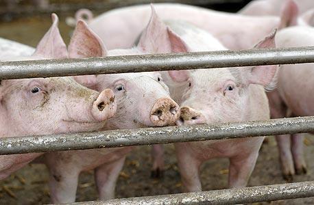 חווה לגידול חזירים