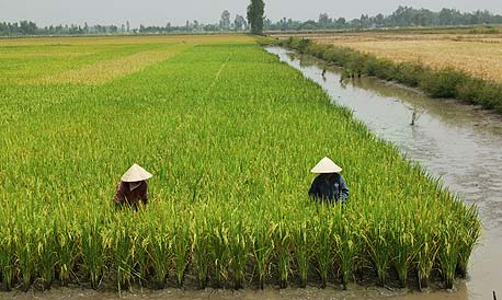 Vietnamese farmers grow rice in a flooded paddy. Photo: Bloomberg