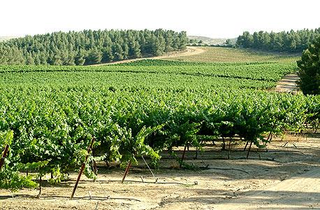 הכרם ביער יתיר. עקבות האקלים המתעתע מורגשות בטעמי היין