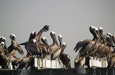 דליפת הנפט במפרץ מכסיקו לפני 5 שנים