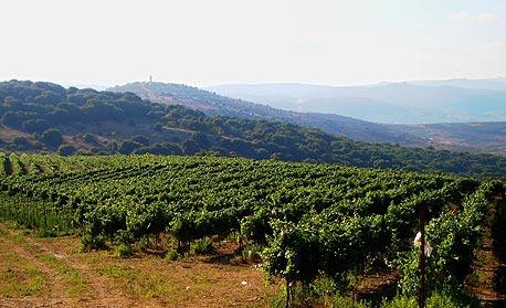 כרם דובב. בין הר מירון ללבנון גדלים ענבי מרלו וארגמן
