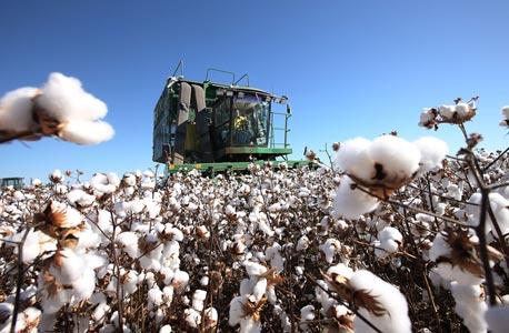 Cotton. Photo: Bloomberg