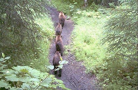 רוברס ראן. התקפות דובים