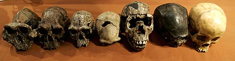 משמאל לימין: התפתחות הגולגולת האנושית, מהקדומה ביותר שנמצאה ועד לאדם המודרני