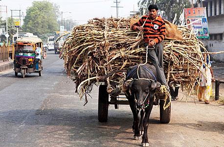 חקלאים מובילים קני סוכר בהודו, צילום: בלומברג