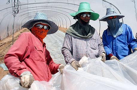 עובדים זרים בחממות, צילום: חיים הורנשטיין