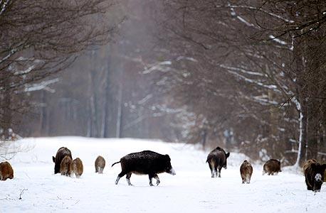 חזירי בר בצ'רנוביל