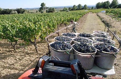 ענבי קריניאן. הברון רוטשילד השתית עליהם את תעשיית היין הישראלית