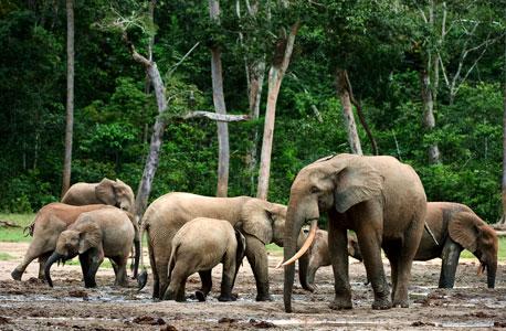 יער הגשם בקונגו. גם הפילים בסכנה