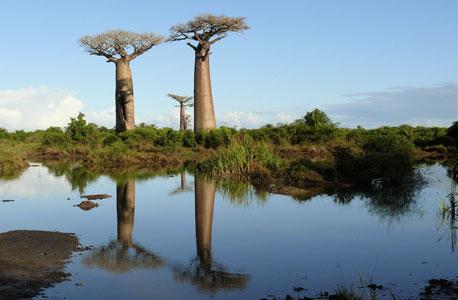 מדגסקר. האי הרביעי בגודלו בעולם נפרד מיערותיו