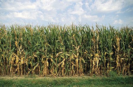 """שדה תירס באינדיאנה. הסובסידיה בארה""""ב גרמה לעודף יצור אדיר"""