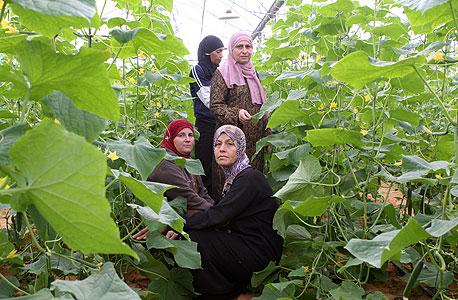 נשים ערביות עובדות בחממה ביישוב באקה אל ערבייה