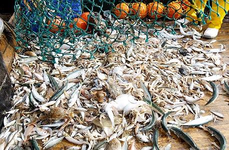 השלל על הסיפון. כמחצית מהערימה מושלכת בחזרה לים: דגים שבורים, מעוכים, וכאלה ללא ערך בשוק
