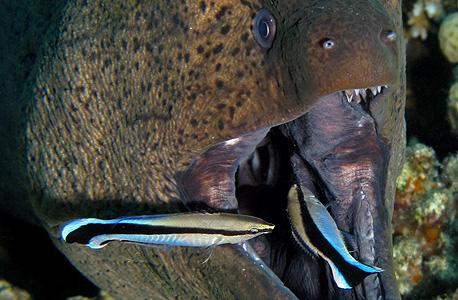 דג נקאי מנקה צלופח, צילום: שאטרסטוק