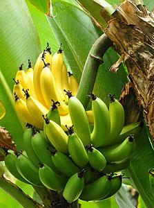 הבננה עוזרת: גז האתילן שמאיץ הבשלת פירות הוא למעשה מסר תקשורתי שגורם להפעלת מנגנוני ההבשלה בפרי