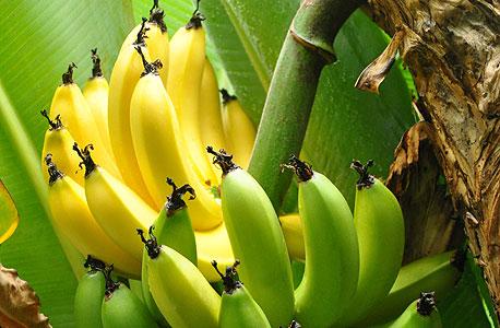 """האו""""ם: מחלה שפוגעת בבננות התפשטה למזרח התיכון"""