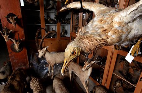 העוף הדורס רחם, צילום: עמית שעל