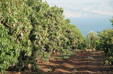 """מטעי מנגו ליד הכנרת. כיום יש בישראל 17 אלף דונם עצי מנגו, שבהם כ־100 אלף עצים המניבים 40 אלף טונות פרי בשנה. קרוב למחציתם מיוצאים לחו""""ל"""