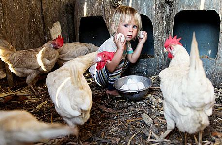 טאו והתרנגולות החופשיות של עדי. כל פסולת הופכת לקומפוסט