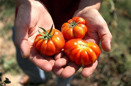 מבחר עגבניות