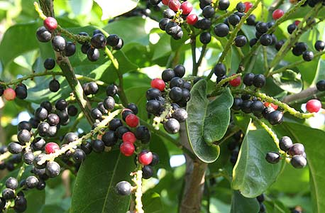 עץ ביגניי (הפרי מזכיר בטעמו תותי יער) במשתלת ולך