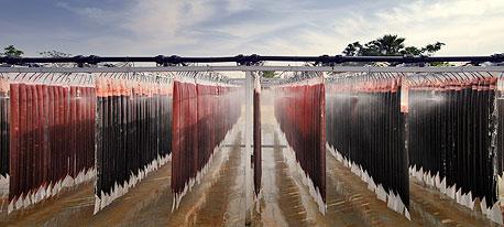 """""""שדות"""" האצות במפעל של פרוטרום בגילת. תחת השמש הקופחת, צינור דק מחדיר לשרוולי הניילון פחמן דו־חמצני וגורם לנוזל האדום לבעבע ללא הפסקה. בתנאים האלה האצה האדומה מפרישה את הרב־סוכר בדמות ג'ל שקוף"""