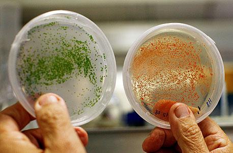 """צלחות פטרי עם מיקרו־אצות במעבדה בשדה בוקר. """"זה מדעי החיים, לא תהליך כימי. כל יום אתה מקבל משהו חדש"""" , צילום: צפריר אביוב"""