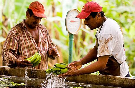 מגדלי בננות באקוודור. מוודאים שירוויחו