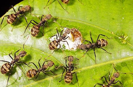 נמלים. רק 3% מן הנמלים בקן אכן פעילות