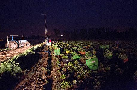 קטיף לילי. מסתיים עם שחר, כדי שהירקות יגיעו למסעדות בשיא הטריות, צילום: תומי הרפז