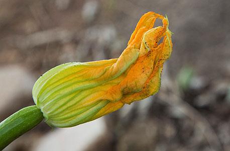 תפרחת זוקיני, צילום: תומי הרפז