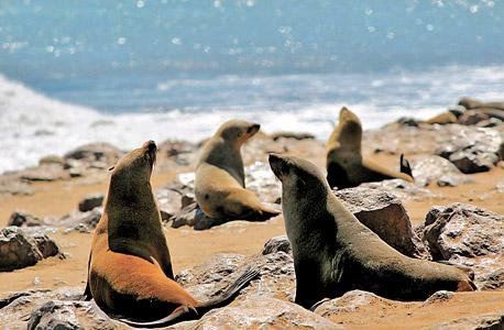 נמיביה. אריות ים בחופים, בבונים וקרנפים נדירים בפנים היבשת, צילום: שאטרסטוק