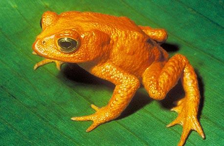 הקרפדה הזהובה של קוסטה ריקה. נמנית עם עוד צפרדעים שנכחדו מאזורים שמוגנים מהאדם. וכעת תור הדבורים, צילום: Papa Lima Whiskey